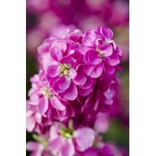 Şebboy Çiçek Tohumu 1 - MATTHIOLA INCANA (~ Takribi 50 Tohum)