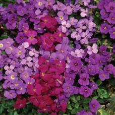 Obrizya Çiçek Tohumu - Aubretia Deltoidea (~ Takribi 40 Tohum)