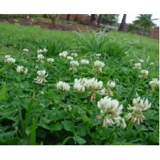 Ak Üçgül - Trifolium Repens - 20 KG