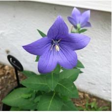 Balon Çiçeği Çiçek Tohumu 1 - Campanula Grandiflora (~ Takribi 30 Tohum)
