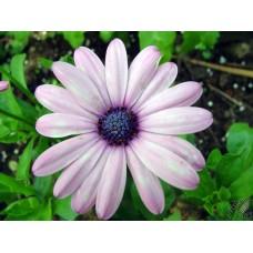 Afrika Papatyası Çiçek Tohumu 1 - Rudbeckia (~ Takribi 30 Tohum)