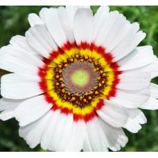 Kasımpatı Çiçek tohumu 1 (~ Takribi 20 Tohum)