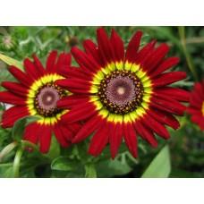 Kasımpatı Çiçek tohumu 2 (~ Takribi 20 Tohum)