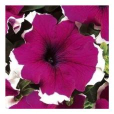 Petunia Grandiflora Dreams F1 1000 adet