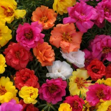 Portulaca Grandiflora Happy Hour (İpek Çiçeği) F1 1000 adet