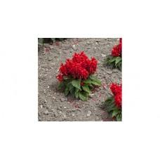 Salvia Splendes Sentry (Ateş Çiçeği) F1 1000 adet