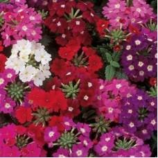 Verbena Hyb Quartz (Mine Çiçeği)  F1 1000 adet