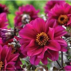 Yıldız Çiçeği Çiçek Tohumu - Dahlia (~ Takribi 30 Tohum)