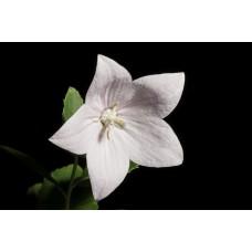 Balon Çiçeği Çiçek Tohumu 2- Campanula Grandiflora (~ Takribi 30 Tohum)