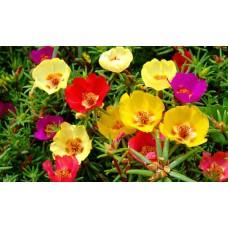 İpek Çiçeği (~ Takribi 50 Tohum)