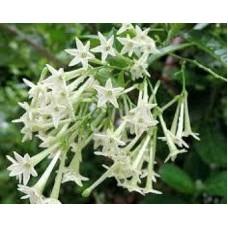 Melisa Çiçek Tohumu - Cestrum Nocturnum (~ Takribi 40 Tohum)