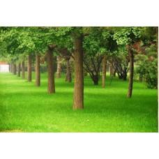 Çim Tohumu Karışımı Gölge 5S- 10 KG
