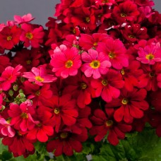 Mart Çiçeği Çiçek Tohumu 3 - Primula Acaulis (~ Takribi 30 Tohum)