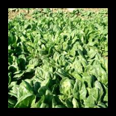 Seminis Ispanak  COOK Düz Yapraklı, Sanayi için uygun 1000000 Tohum