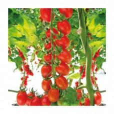 Seminis Domates Sera  ÇİKİTO Cherry Plum 1000 Tohum