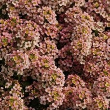 Alisyum Çiçek Tohumu (Kuduz Otu) - KRALIYET HALISI - ALYSSUM F1 1000 adet