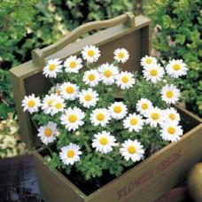 Chrysanthemum Paludosum-Snowland (Papatya) F1 1000 adet