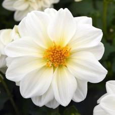 Dahlia Veribalis-Figaro (Yıldız çiçeği) F1 1000 adet