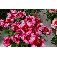 Dianthus Chinensis-Barbatus Floral Lace F1 (Çin karanfili) 1000 adet
