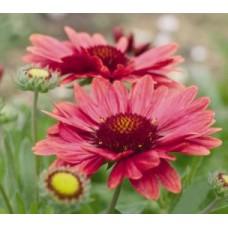 Gaillardia Grandiflora Arizona F1 1000 adet