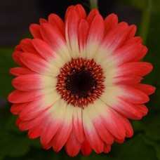 Gerbera Jamesonii Revolution  F1 1000 adet