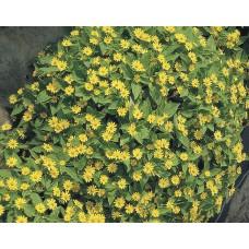 Melampodium Paludosum Showstar F1 1000 adet