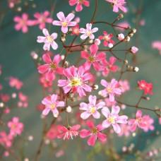 Çöven Çiçek Tohumu 2- Gypsophila Elegans (~ Takribi 40 Tohum)