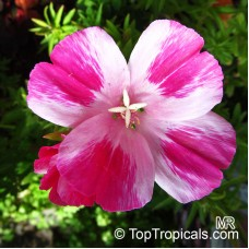 Açelya Çiçek Tohumu - YER AÇELYASI - GODSTIA - CLARKIA AMOENA (~ Takribi 50 Tohum)