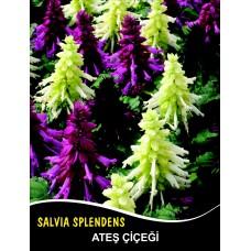 Ateş Çiçeği Tohumu - SALVIA SPLENDENS (~ Takribi 50 Tohum)