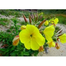 Ezan Çiçeği Tohumu 1 - OENOTHERA (~ Takribi 50 Tohum)