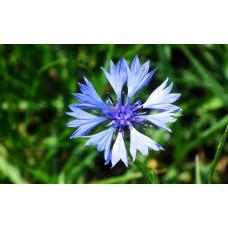 Mavi Kantaron Çiçek Tohumu - Centaurea cyanus (~ Takribi 20 Tohum)