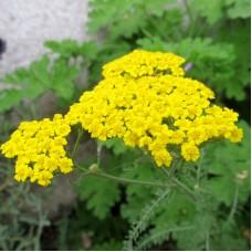 Sarı Civan Perçemi Çiçek Tohumu - Achillea Filipendulina (~ Takribi 20 Tohum)